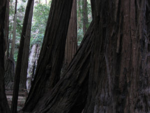 Photo of Redwood Trees, Muir Woods, California