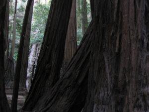 Photo of Redwood Trees, Muir Woods, California